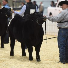 Black & Red Angus - Purebred Beef Shows Farmfair International