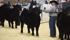 Black & Red Angus - Purebred Beef Shows Farmfair International
