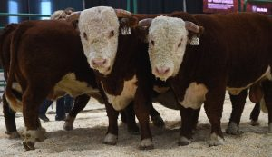 Bull Pen Show - Farmfair International