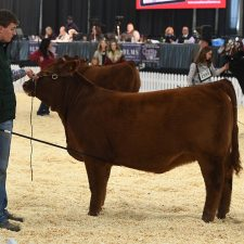 Limousin - Purebred Beef Shows Farmfair International