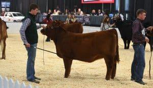 Limousin - Purebred Beef Shows Farmfair International