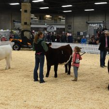 Shorthorn - Purebred Beef Shows Farmfair International