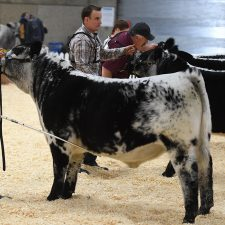 Speckle Park - Purebred Shows Farmfair International