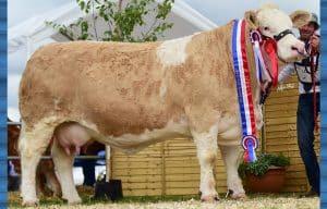Clonagh Pedigree - Simmental - Champion of the World 2019