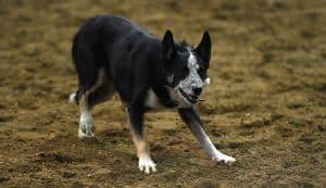 Stock Dogs - Farmfair International