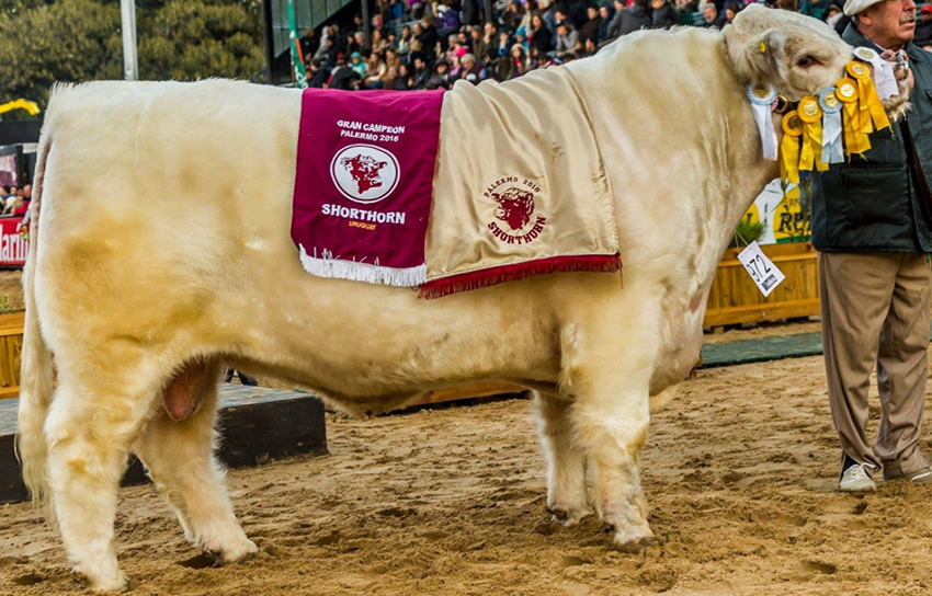 Tres Hojas - Shorthorn - Champion of the World 2019