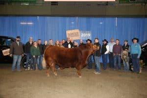Grand Champion Bull - Greenwood Limousin